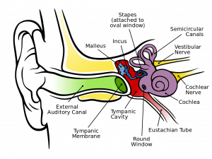 Diagram Of The Inner Ear - Tympanograms By Tolbecs